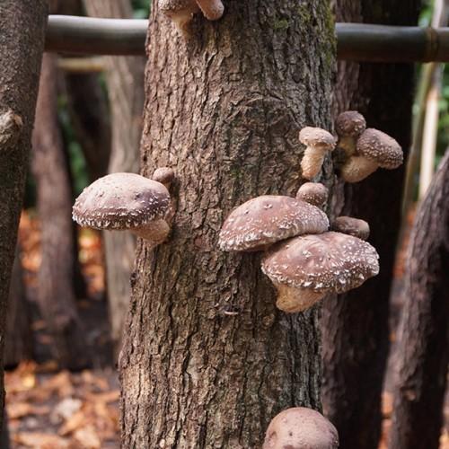 Shiitake-paddenstoelen